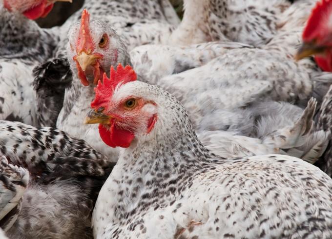 El 50% de los pollos que se comercializan en el Reino Unido están contaminados