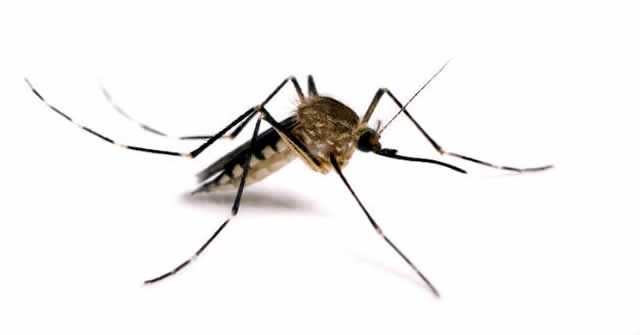Chikungunya vino para quedarse