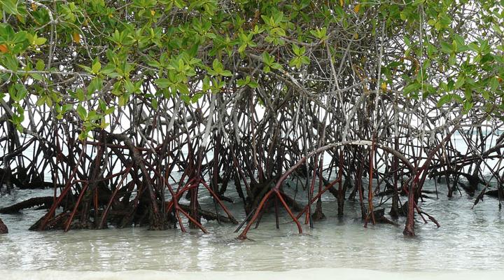 El cartel del mangle