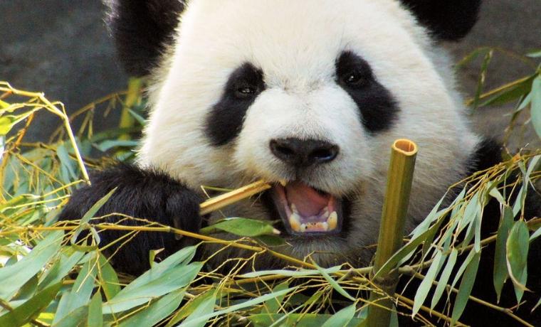 Los Osos Pandas No Deberían Comer Bambú