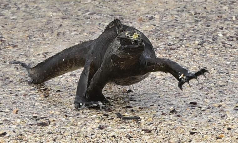 Las iguanas marinas: el termómetro del calentamiento global en Galápagos
