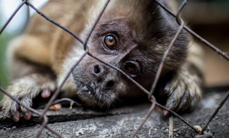 Nicolás, un mono recuperado del alcohol y símbolo del tráfico animal en Chile