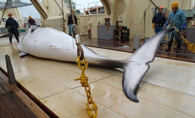 """Caza de ballenas: Japón manda el martes """"barcos científicos"""" a la Antártida"""