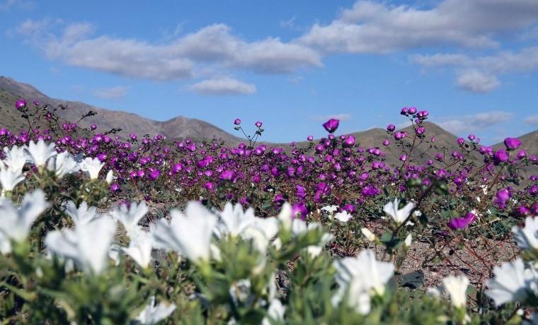 Archivo. Desierto de Atacama, a unos 600 kms de Santiago. Noviembre 27, 2015.  AFP PHOTO / CARLOS AGUILAR