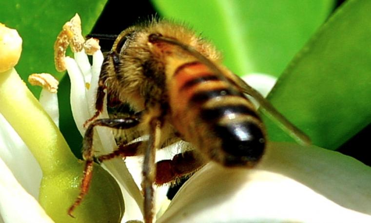 Pesticidas nefastos para abejas presentes en 75% de la miel del mundo