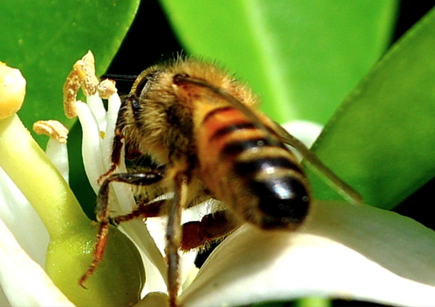 Abeja (Apis mellifera) polinizando una flor de azahar. Wikimedia Commons. Por: Karumar, 2012. CC BY-SA 3.0