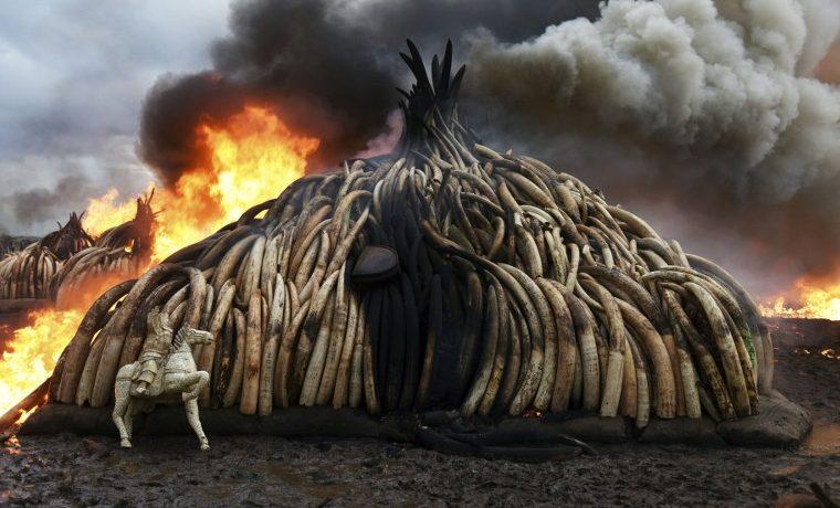 Casi la mitad de los sitios de la Unesco, sufren caza furtiva o tráfico