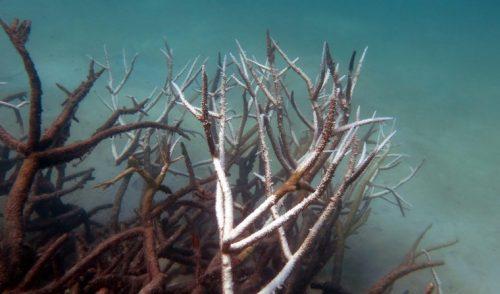 Un caracol de mar gigante podría salvar la Gran Barrera de Coral de Australia