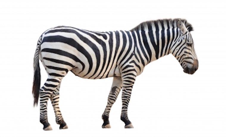vertebrados cebra zebra