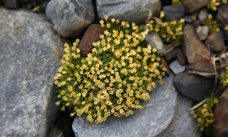 Las plantas antárticas, al rescate de la salud y el cambio climático