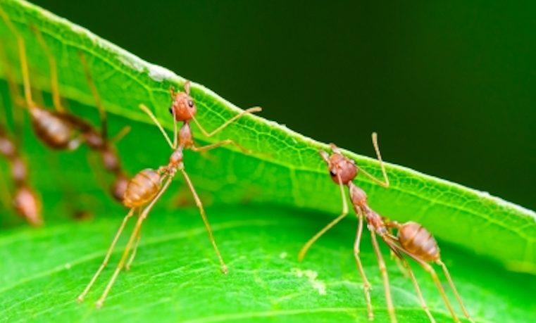 Las hormigas podrían haber inventado la agricultura para remediar la sequía
