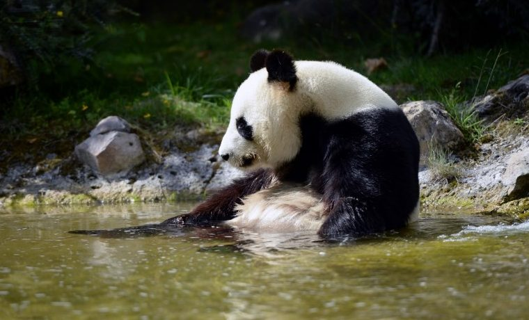 Los pandas gigantes amenazados por el cambio climático
