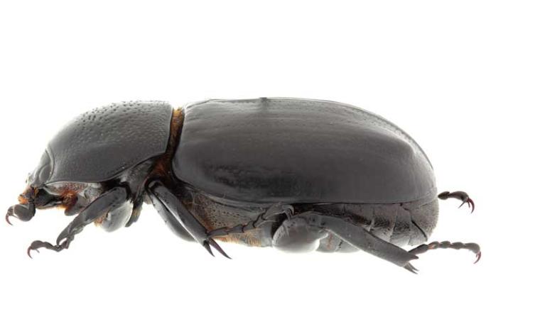 """Tras 17 años en """"remojo"""" descubren escarabajo del bosque del Chiribiquete"""