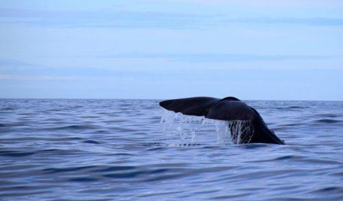 Las ballenas negras diezmadas en la costa canadiense por la actividad humana