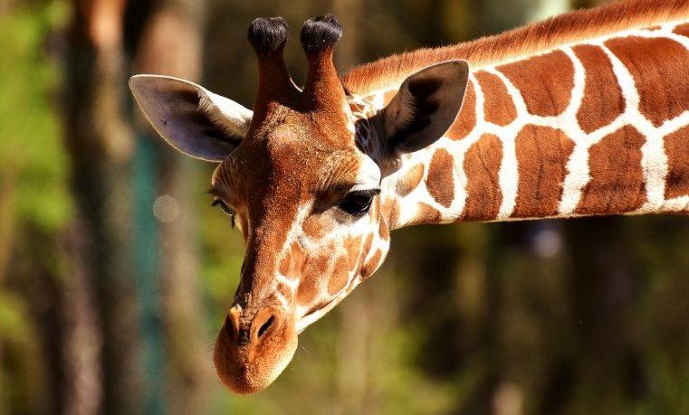 ¿Están amenazados los mayores animales terrestres?