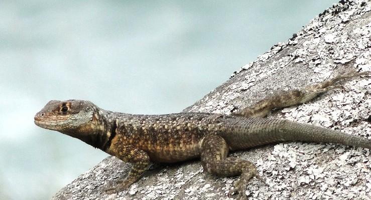 Descubren nueva especie de lagarto en el litoral sur de Brasil