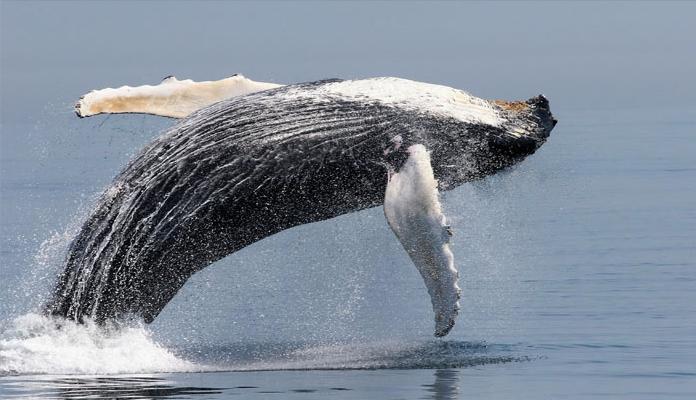 EEUU: Mayoría de ballenas jorobadas se libraron del peligro de extinción