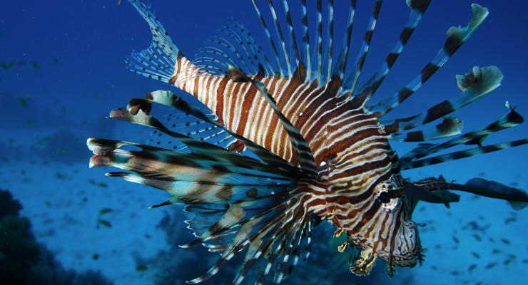 Encuentran en Brasil al pez león, una destructiva plaga del Caribe