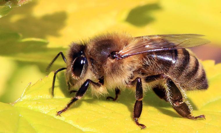 Plan de la Casa Blanca por la escasez de abejas