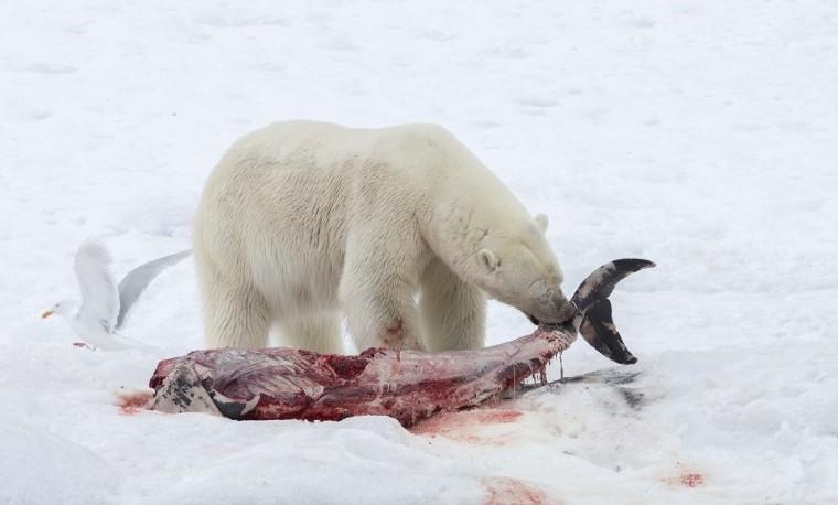 Como consecuencia del cambio climático, osos polares añaden delfines a su menú