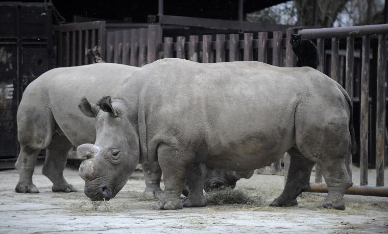 Muere un rinoceronte blanco en República Checa, ya sólo quedan 4 en el mundo
