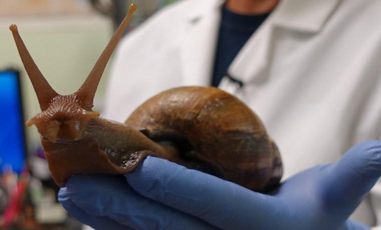 Invasión de caracoles gigantes en la Florida