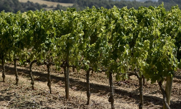 Viñedos franceses se lanzan en guerra contra el glifosato