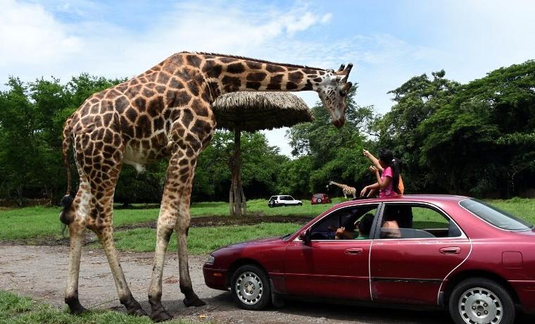 La jirafa libra una batalla por su supervivencia en África