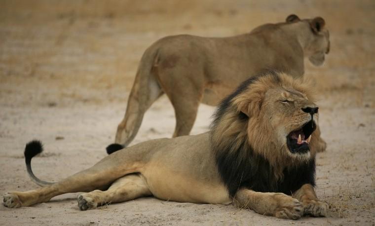 Archivo. Octubre 21, 2015, muestra al león Cecil en el Zimbabwe National Park. La foto fue entregada a los medios el 28 de julio del 2015.  AFP PHOTO / ZIMBABWE NATIONAL PARKS
