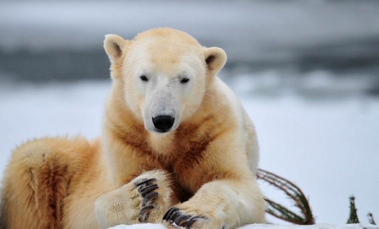 Calentamiento global es alta amenaza para osos polares
