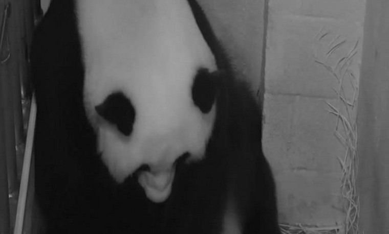 Nace un bebé panda en el zoo de Washington