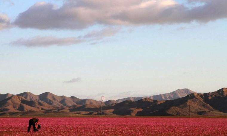 El árido desierto de Atacama se cubre de flores gracias a El Niño