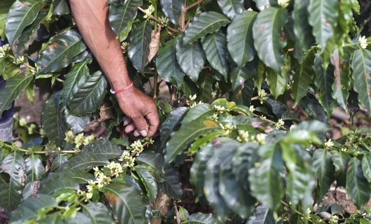 Calentamiento global pone en peligro producción de café latinoamericano