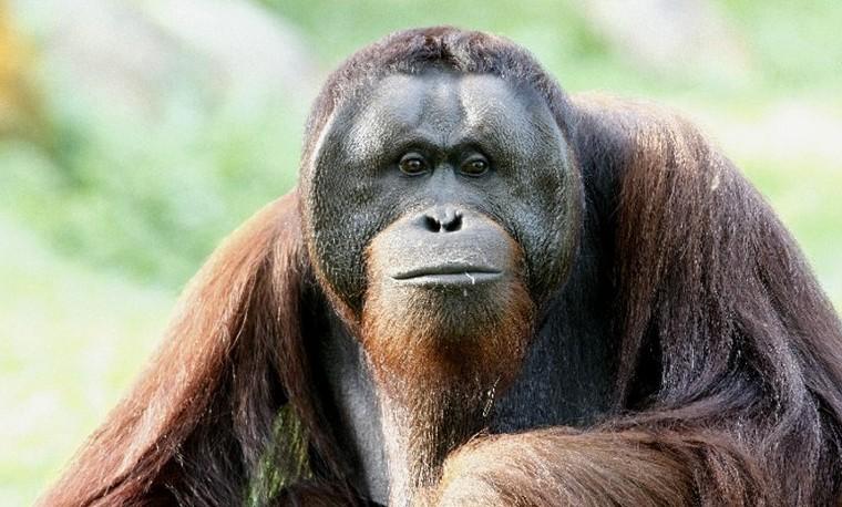 Orangután de Sumatra, noviembre 24, 2015, en  AFP PHOTO / Wildlife Reserves Singapore.
