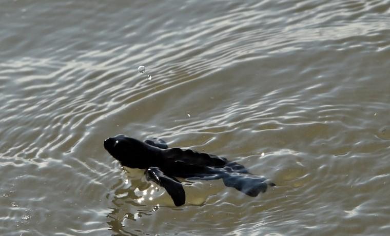 """Calentamiento amenaza con """"freír"""" nidos de tortuga en Panamá"""