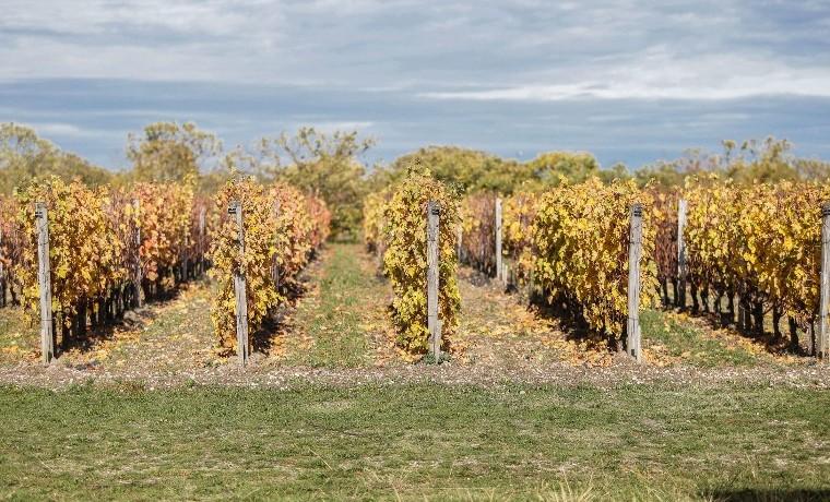 Los viñedos de Burdeos preparan el futuro ante el calentamiento global
