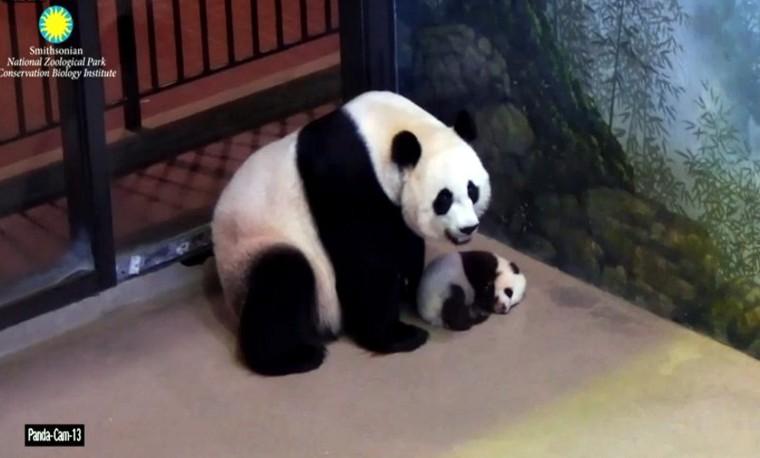 China dice haber logrado descifrar el lenguaje de sus osos panda
