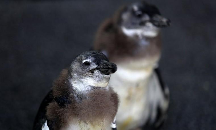 Archivo. Noviembre 30, 2013, muestra pinguinos africanos en la Fundación Southern African Foundation for the Conservation of Coastal Birds (SANCCOB), en El Cabo in Cape Town. AFP / JENNIFER BRUCE