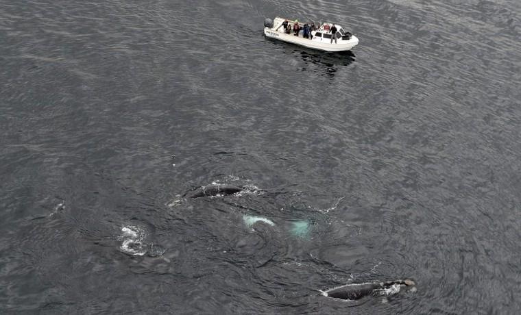 El cambio climático, un azote para las ballenas