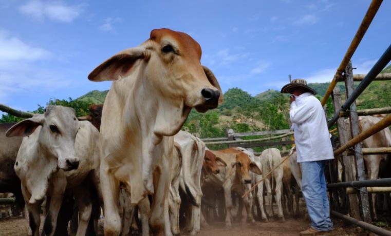 Familias ganaderas en Colombia: cuando la leche cae con cuentagotas