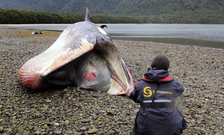 Hallazgo de ballenas muertas en Patagonia chilena puede ser un fenómeno periódico
