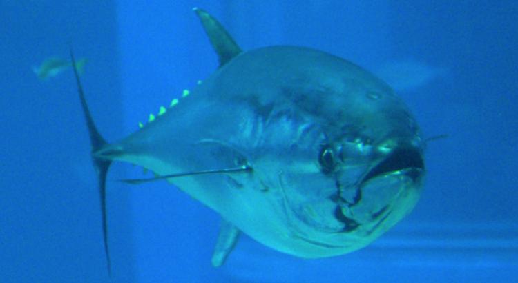 El futuro del atún patudo centra las preocupaciones del mundo de la pesca
