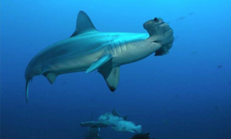 Ecuador crea santuario marino para proteger al tiburón martillo