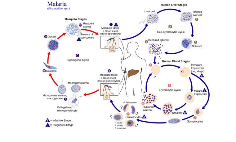 Rayos UV y vitamina B pueden reducir riesgo de transmisión de paludismo por transfusión sanguínea