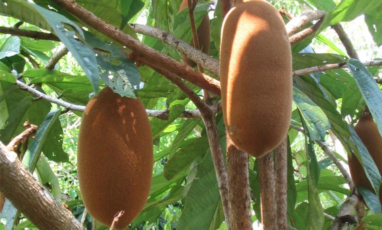 Foto: Fruto amazónico Copoazú. Instituto SINCHI - Jaime Barrera