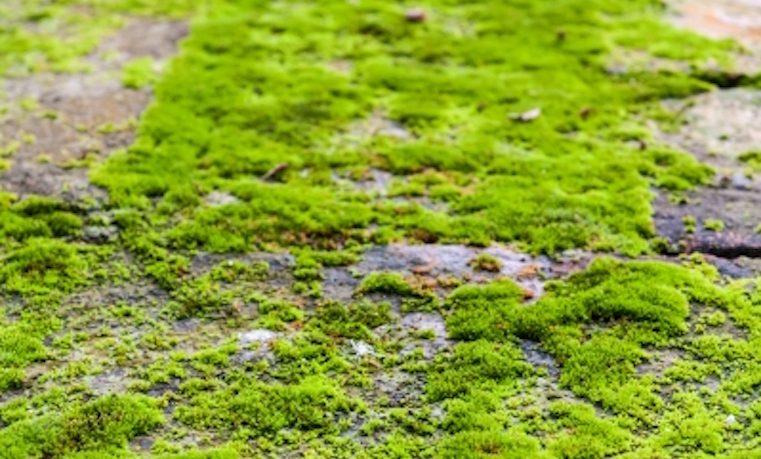 El musgo produjo oxígeno suficiente para que surgiera la vida animal