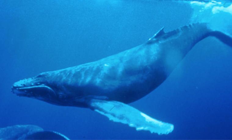 Mortalidad inusual de ballenas jorobadas en la costa atlántica de EEUU