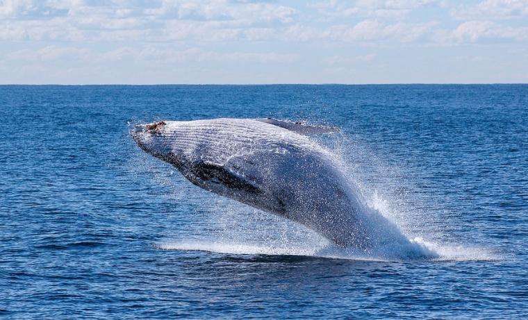 Canadá ordena a los barcos reducir velocidad para proteger a las ballenas