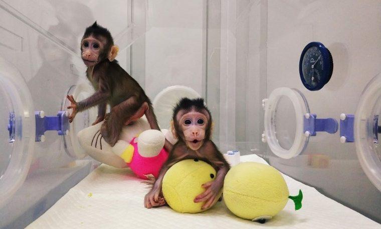 Nacen los primeros monos clonados con la técnica de la oveja Dolly
