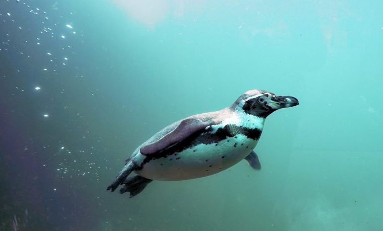 Declive masivo de la mayor colonia de pingüino rey del mundo